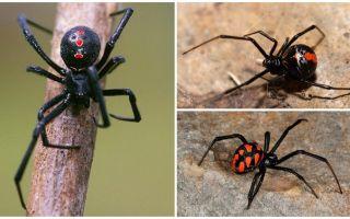 Sorten von Spinnen Fotos mit Namen und Beschreibungen