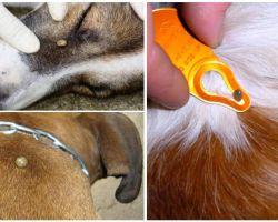 Zeckenbiss bei einem Hund - Symptome, Auswirkungen und Behandlung zu Hause