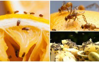 Wie man Fruchtfliegen im Küchenladen und in den Volksmedizinen loswird
