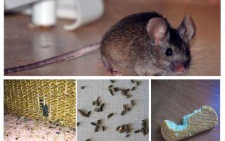 Wie man mit Mäusen in der Wohnung umgeht