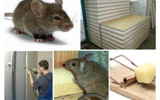 Nagen Mäuse Geierplatten
