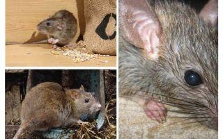 Können Ratten Menschen angreifen?