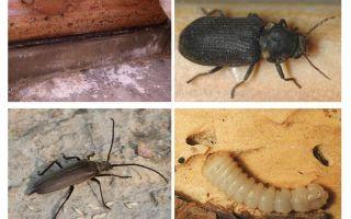 Wie man den Käferkäfer loswird
