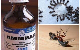 Ammoniak von Ameisen und Blattläusen