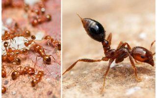 Wie man kleine rote Ameisen in einer Wohnung loswird