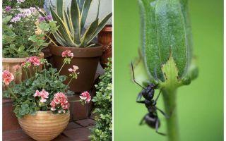Wie man Ameisen aus einem Blumentopf entfernt