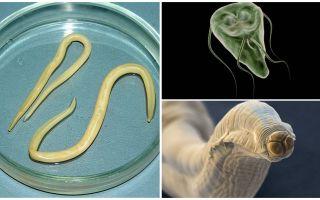 Vergleich von Giardia und Würmern