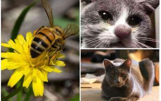 Was tun, wenn eine Katze von einer Biene gebissen wird?