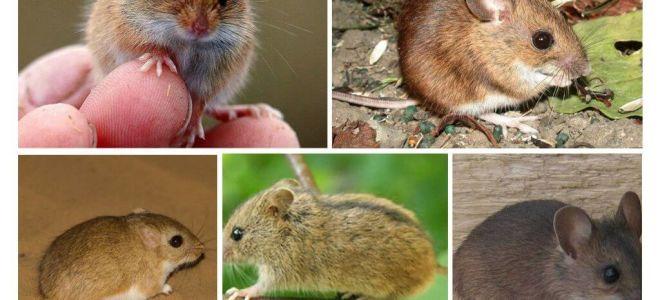 Arten und Arten von Mäusen