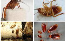 Wie Kakerlaken aussehen, ihre Fotos, Typen und Beschreibungen