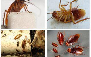 Rote Kakerlake Prusak und wie man es los wird