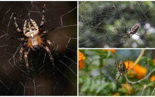 Können Spinnen fliegen?
