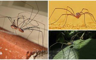 Spider mow mit langen, dünnen Beinen