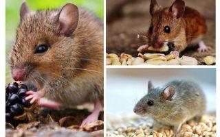Was Mäuse essen