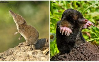 Wie man eine Spitzmaus von einem Maulwurf unterscheidet