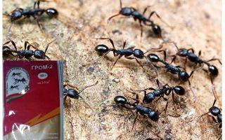 Bedeutet Donner 2 von Ameisen