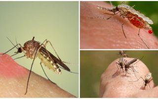 Warum trinken Mücken Blut?