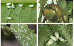 Methoden des Umgangs mit der Weißen Fliege an Tomaten im Gewächshaus