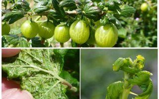 Wie man Blattläuse auf der Stachelbeere loswird