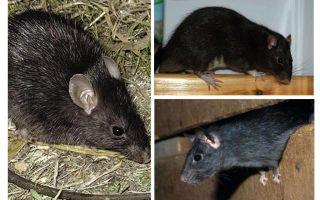 Schwarze Ratten