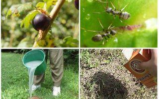 Wie man mit Ameisen und Blattläusen auf Korinthen umgeht