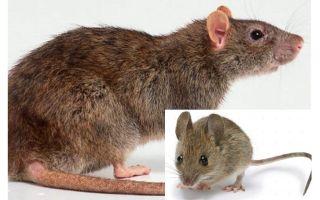 Was ist der Unterschied zwischen einer Maus und einer Ratte?