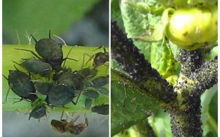 Wie man mit schwarzen Blattläusen auf Tomaten und Gurken umgeht