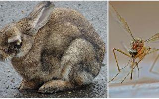 Wie man Kaninchen vor Moskitos auf der Straße und im Kaninchenstall rettet