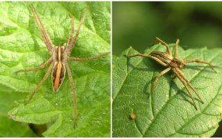 Beschreibung und Fotos der Spinnen der Region Saratow
