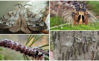 Beschreibung und Foto einer Raupe und eines Schmetterlinges der sibirischen Seidenraupe
