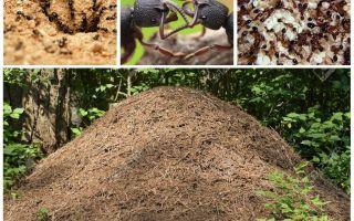 Das Leben der Ameisen in einem Ameisenhaufen