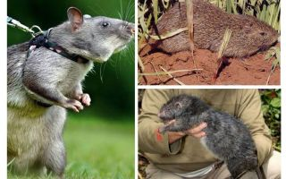 Die größten Ratten der Welt
