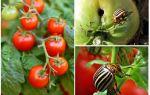 Wie man Tomaten vom Kartoffelkäfer verarbeitet