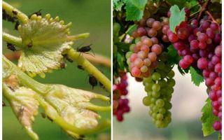 Wie man mit Blattläusen auf Weintraubenvolk und Einkaufsmitteln umgeht