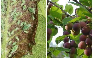 Wie und was man Blattläuse auf Pflaume verarbeitet