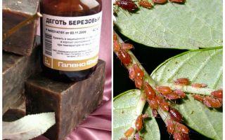 Wie man Birken-Teer-Spray von Blattläusen verdünnt