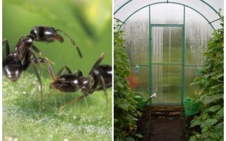 Wie man mit Ameisen in den Gewächshausvolksmitteln umgeht