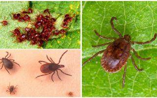 Beschreibung und Foto von ixodic Ticks