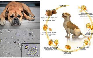 Symptome und Behandlung von Giardia bei Hunden