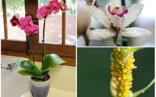 Wie man mit Blattläusen auf Orchideen umgeht
