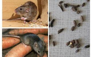 Wie man mit Ratten in einem privaten Haus umgeht