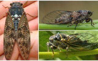 Beschreibung und Fotos von Zikadenfliegen