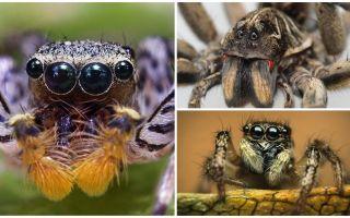 Wie viele Augen hat eine Spinne?