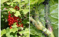 Wie man Blattläuse auf Johannisbeeren loswird