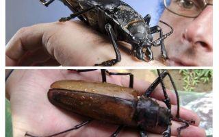 Titan Holzfäller Käfer
