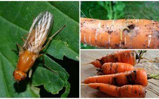 Wie man Karottenfliegen loswird