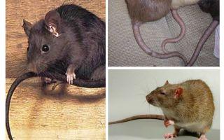 Warum schwänzen Ratten