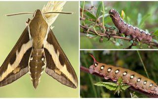 Beschreibung und Foto von Raupe Wein Hawk Moth
