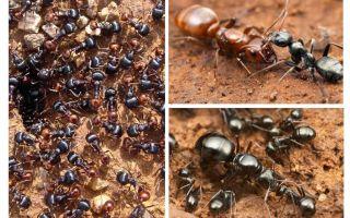 Stadien der Ameisenentwicklung