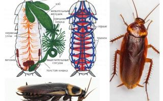 Die Struktur der Kakerlake - extern und intern